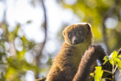 Golden bamboo Lemur portrait in Madagascar wildlife. Cute golden bamboo lemur with back lit on a green rain forest Ranomafana Park, endemic specie in Madagascar Stock Image