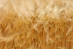 Golden barley. A field of ripe barley Stock Photo
