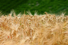 Golden barley Stock Image
