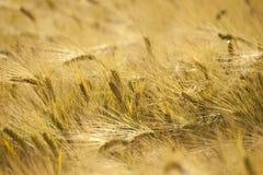Golden Barley Stock Photos
