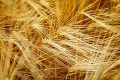 Golden barley Stock Photo