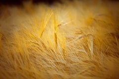 Golden barley Stock Photography