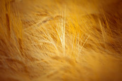 Golden barley Royalty Free Stock Photos