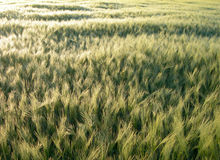 Golden barley Royalty Free Stock Image