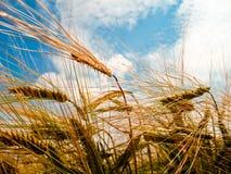 Golden barley ears Royalty Free Stock Photos