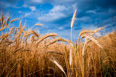 Golden Barley Royalty Free Stock Photography
