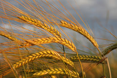 Golden barley ears against dramatic clouds Royalty Free Stock Image