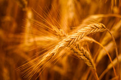 Golden Barley Ears Royalty Free Stock Image