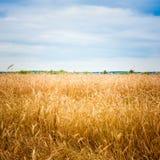 Golden Barley Ears Royalty Free Stock Image