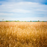 Golden Barley Ears Stock Image