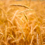 Golden Barley Ears Royalty Free Stock Photo