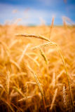 Golden Barley Ears Royalty Free Stock Images