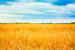 Golden Barley Ears Stock Photo
