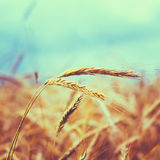 Golden Barley Ears Royalty Free Stock Photography