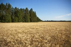 Golden barley field Royalty Free Stock Image