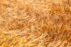 Golden barley field agricultural background. Summer field with ripe golden barley ready for harvest agricultural background Stock Image
