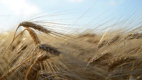 Golden barley field. Agricultural crop. stock footage