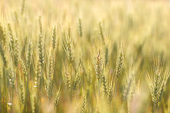 Golden barley field Stock Image