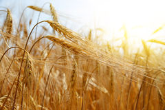 Golden barley field Royalty Free Stock Photography