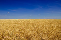 Golden barley field before harvest in hot summer. Royalty Free Stock Images