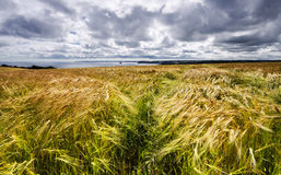 Golden Barley Field. A field of golden ripe barley overlooking the sea in on the south coast of Cornwall Stock Photography