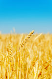 Golden barley on field Stock Photography