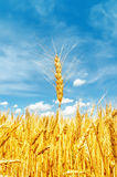 Golden barley on field Stock Images