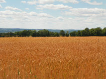 Golden barley field during summer in the Finger Lakes of New York. Golden field ready for harvest in New York State. Blue sky, sunshine, warm temperature, lake stock photography