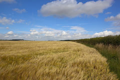 Golden barley field. A summer golden barley field in the yorkshire wolds england with hedgerows and scenic hills under a blue sky with white fluffy clouds Stock Photography