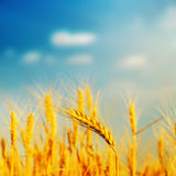 Golden barley on field in sunset. Soft focus Stock Photos