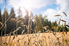 Golden barley field Royalty Free Stock Images