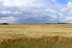 Golden barley fields Royalty Free Stock Image