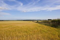 Golden barley and hedgerow Royalty Free Stock Photo