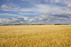 Golden barley fields under a gorgeous summer sky Royalty Free Stock Photography
