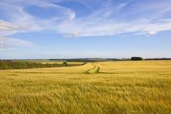 Golden barley fields under a summer sky Royalty Free Stock Photo