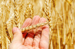 Golden barley in hand Stock Photos