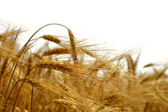 Golden barley. Isolated on white Royalty Free Stock Images