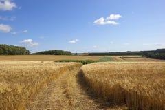 Golden barley and maize Stock Photos