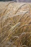 Golden Barley in Sunlight Royalty Free Stock Photo