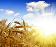 Golden barley Royalty Free Stock Photo