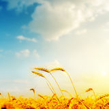 Golden barley and sunset Royalty Free Stock Photography
