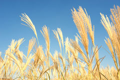 Golden Barley Wheat Field in Summer Stock Images
