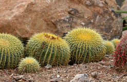 Golden barrel cacti. A group ofGolden barrel cacti royalty free stock photo