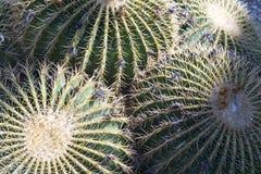 Golden Barrel Cacti. At Desert Botanical Garden in Phoenix, Arizona royalty free stock images