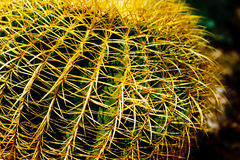 Golden Barrel Cactus. Golden Ball or, amusingly, Mother-in-Law's Cushion (Echinocactus grusonii) is a well known species of cactus native to central Mexico stock photography
