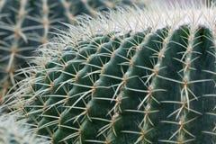 Golden barrel Cactus Royalty Free Stock Photography