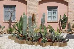 Golden barrel cactus and agava at tropical garden Stock Photography