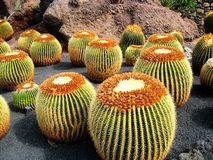 Golden Barrel Cactus. Those golden barrel cactus, also know as Mother-in-Law's Cushion, can be foung in Cesar Manrique's Cactus Garden in Lanzarote Island (Spain Stock Photo