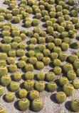 Golden Barrel Cactus Background Pattern — Echinocactus Grusonii. Flock of barrel cacti succulent plants from above stock image