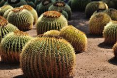 Golden Barrel Cactus. Golden Ball or, amusingly, Mother-in-Law's Cushion (Echinocactus grusonii) is a well known species of cactus native to central Mexico royalty free stock photography